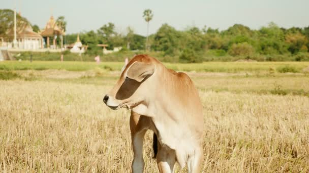 Baby cow  stands in field