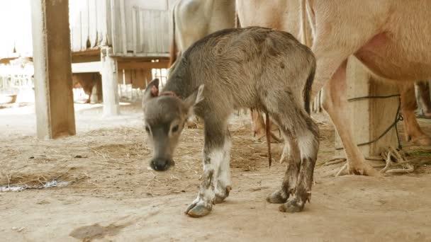 Novorozence buffalo tele stojí za to poprvé ve stodole (Detailní záběr)