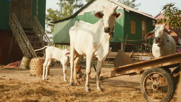 Baby cow suckling cow in a farm