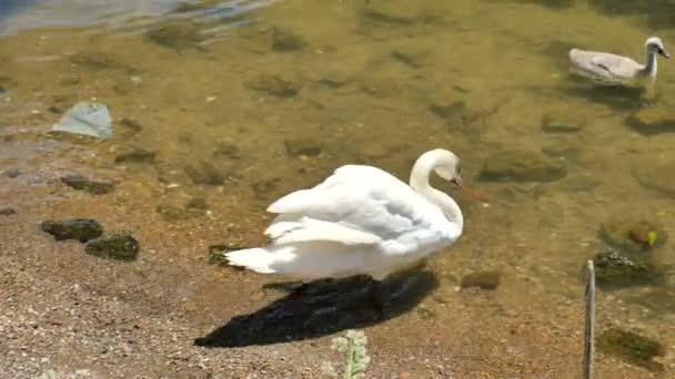 Swan a cygnet koupání na řece Seině