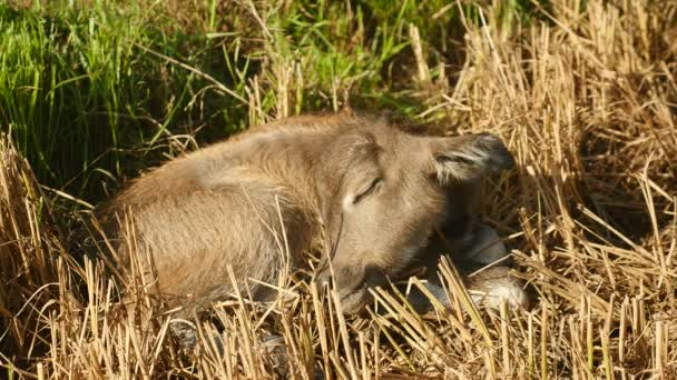 Baby buffalo sleeps on a field
