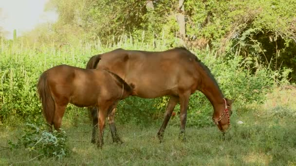 Chestnut horse and foal tied up with rope in a wild field; Horse grazing and foal suckling from his mother