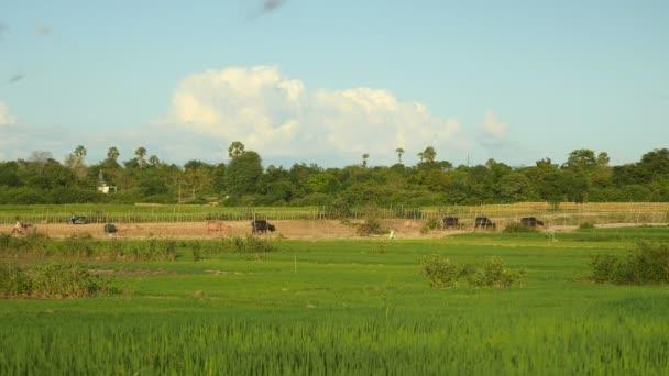 Szél fúj át a zöld rizsföldek, víz bivaly, séta a mezők utat hátteret egy csorda