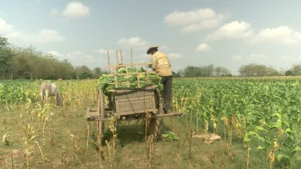 Farmář načítání tabákové listy do svého košíku