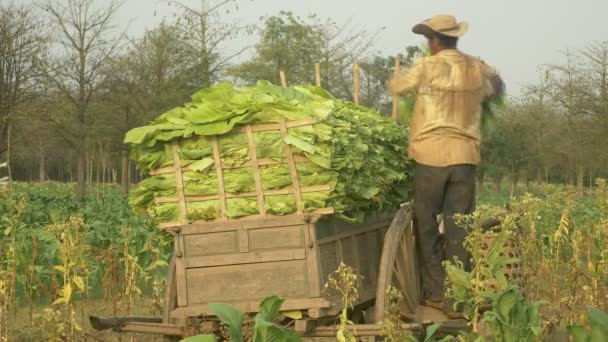 Farmer loading tobacco leaves into his cart