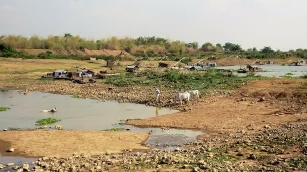 Farmář omývá krávy ve vodě rybníka