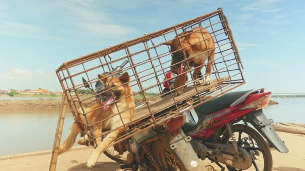 Wild dogs in a cage on the back of a motorbike. To be transported to a restaurant for sale