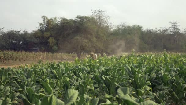 farmer driving an oxcart carrying harvested tobacco leaves on a dusty earth path