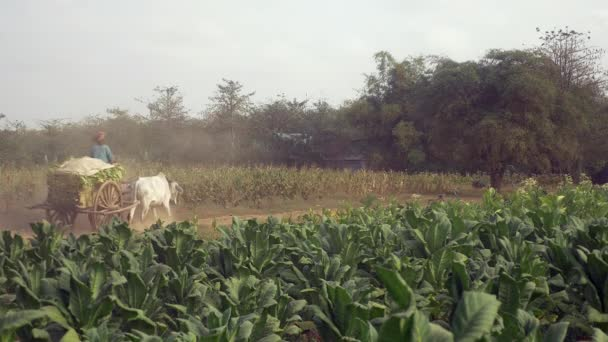 farmer driving an oxcart carrying harvested tobacco leaves on a dusty earth