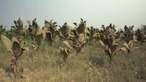 Rostliny v prašném suché půdy