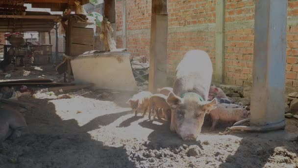 Sow lying down on her side and piglets suckling from her teats