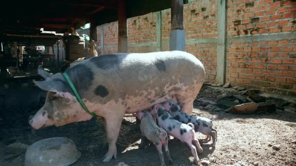 Piglets grasping teats as sow is moving around under stilt-house