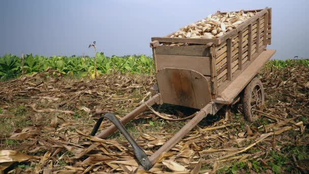 Wooden cart loaded with corn in the maize field