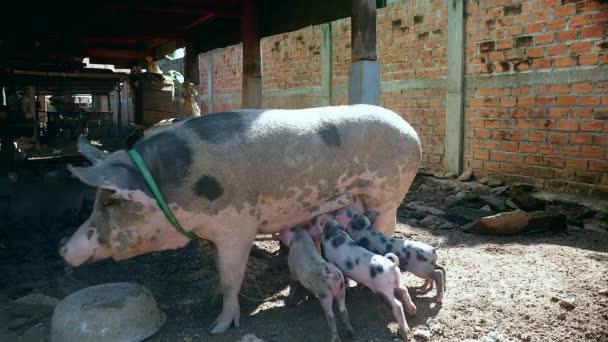 Selata uchopení struky, jak svině se pohybuje kolem pod chůda domy