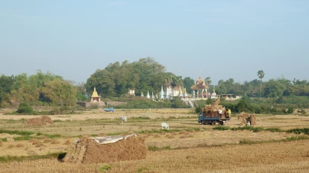 Distance view of farmers in a field loading rice hay into a truck