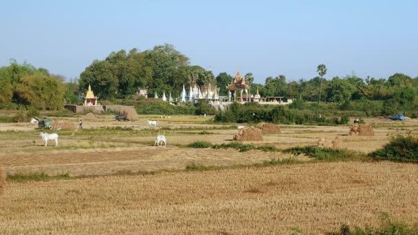 verstreute Heuhaufen und Kühe auf den Feldern. Lastkraftwagen voll beladen mit Reisstroh fahren aus den Reisfeldern als Hintergrund
