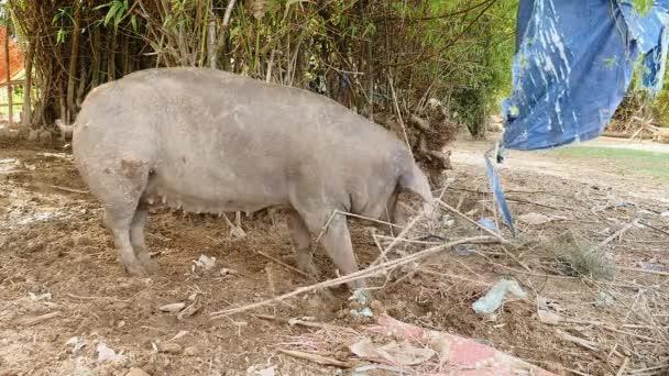 Růžové a šedé prasata z potravin
