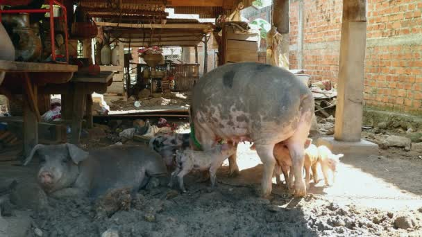 piglets grasping teats as sow is standing up under stilt-house,