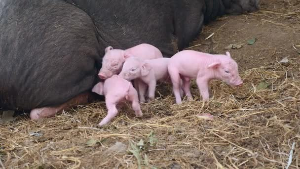 Piglets trying to grasp teats from teats of a black sow ( close up )