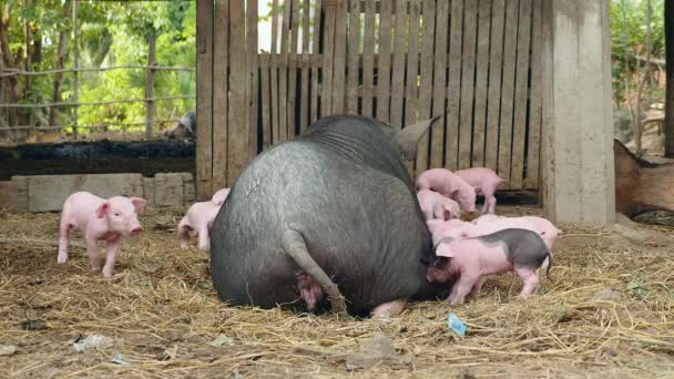 Piglets trying to grasp teats from teats of a black sow
