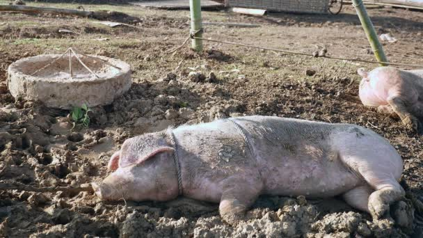 pig covered in mud and tied up with rope sleeping on the ground