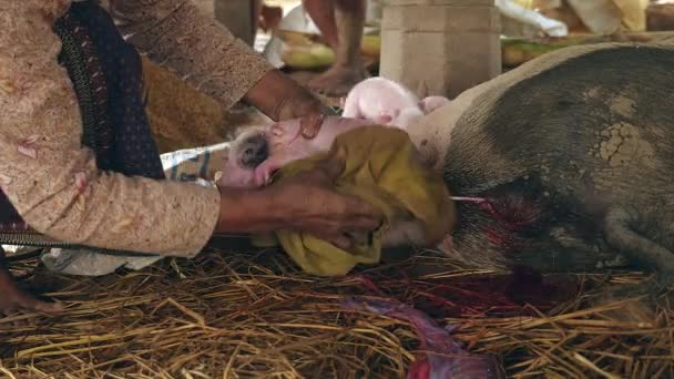 Woman wiping a newborn piglet down with a towel and cleaning off after birth