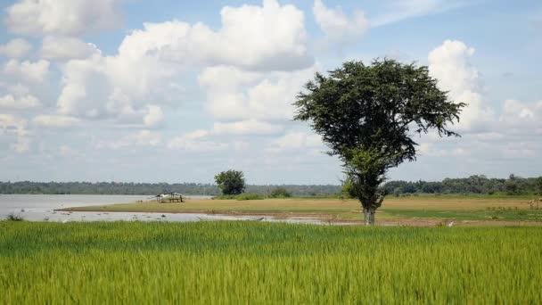 Vítr vanoucí nad zelených rýžových polích pod jasnou oblohou a jezero v pozadí