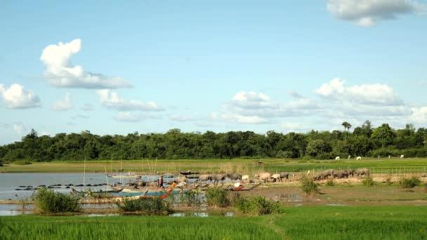 Mandria di bufali d acqua a piedi giù per il lago per fare un