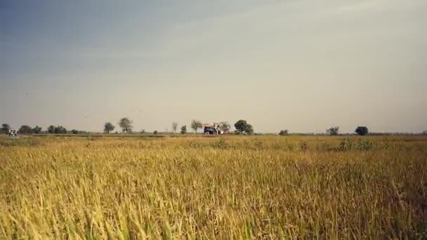 Kombinovat, sklizeň, pěstování rýže a hejna ptáků, kteří létali nad