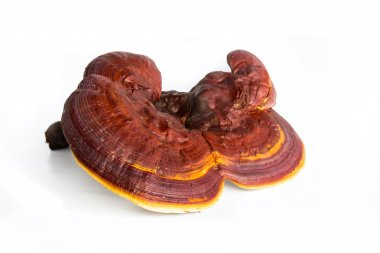 Ganoderma Lucidum isolated on white background