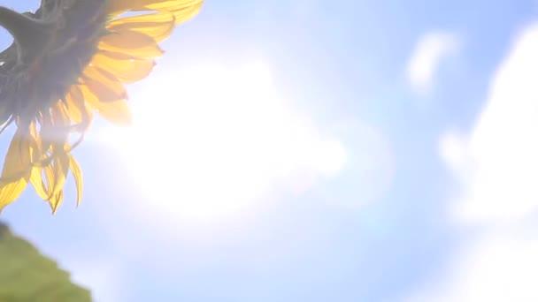 virágzás napraforgó ellen nap