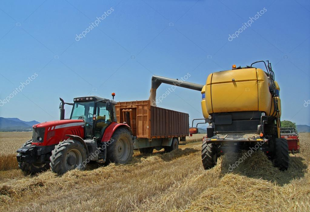 Harvested wheat a summer