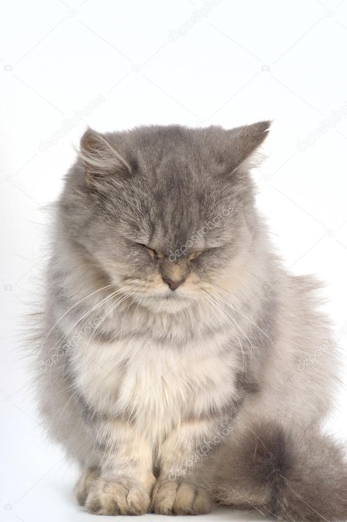 Grey Persian Cat On White Background Stock Photo C Mariaic 94963552