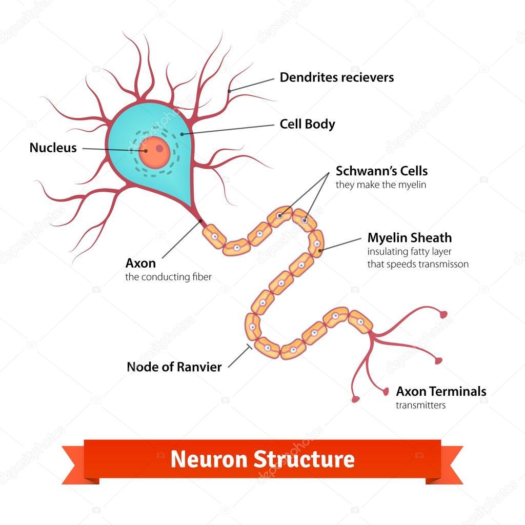 Diagrama de la célula de cerebro neurona — Archivo Imágenes ...
