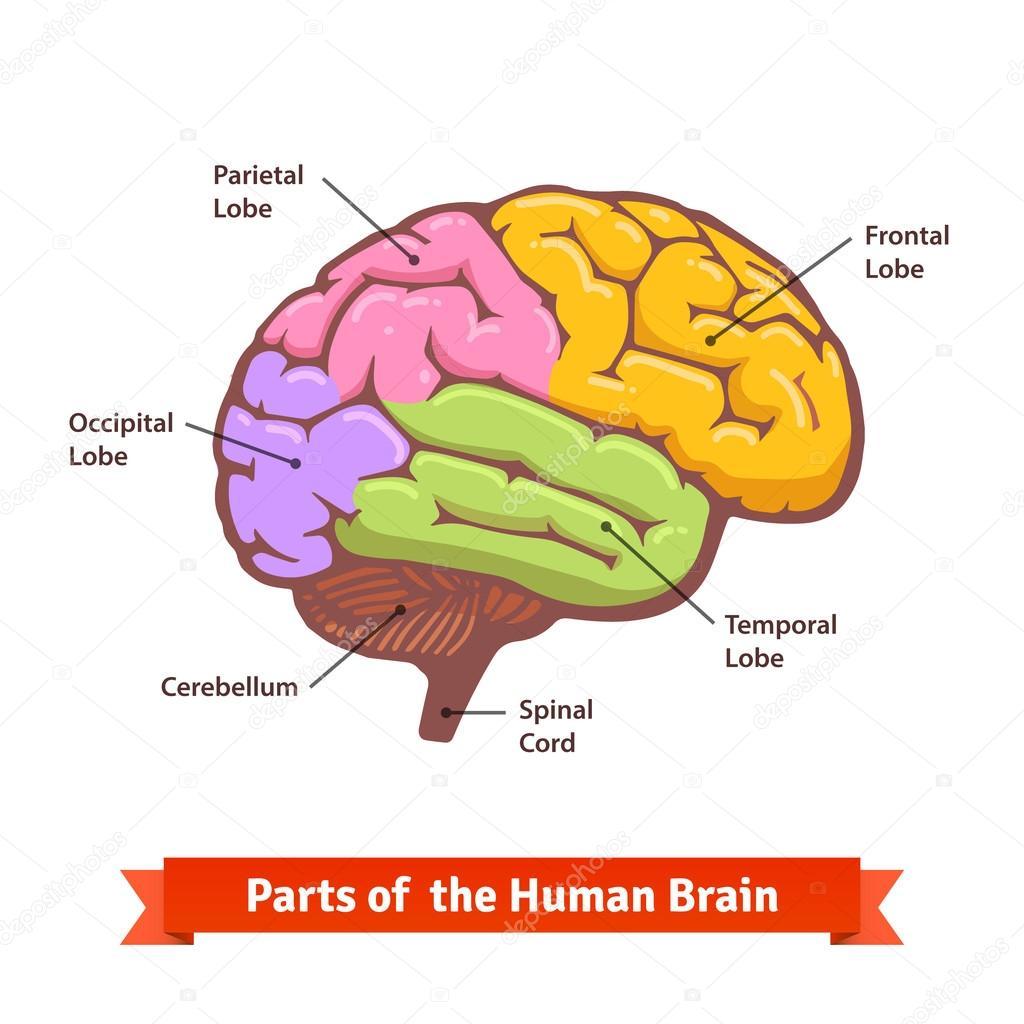 Farbige und beschriftete menschliche Gehirn Diagramm — Stockvektor ...