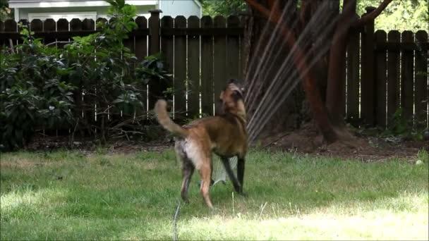 Velký pes v postřikovačů 2