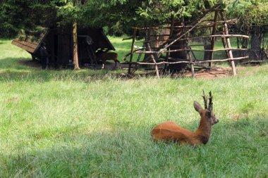 A roe deer