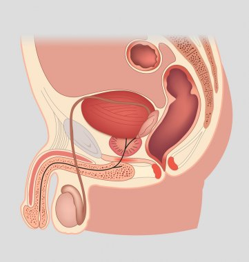 Man reproductive system median section. Male genital organs. Vector illustration.