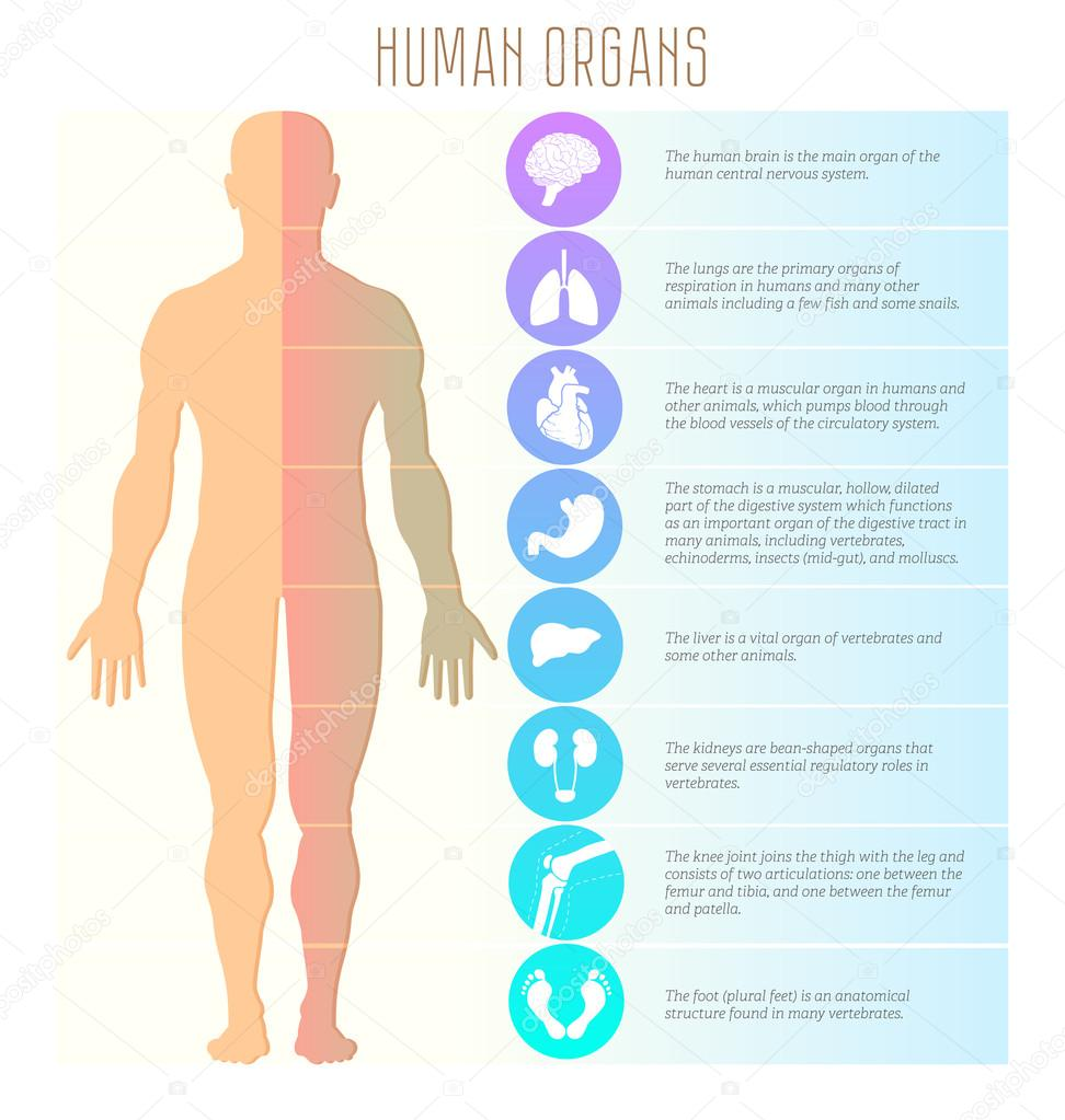 People and human organs, brain, lungs, heart, stomach, liver ...