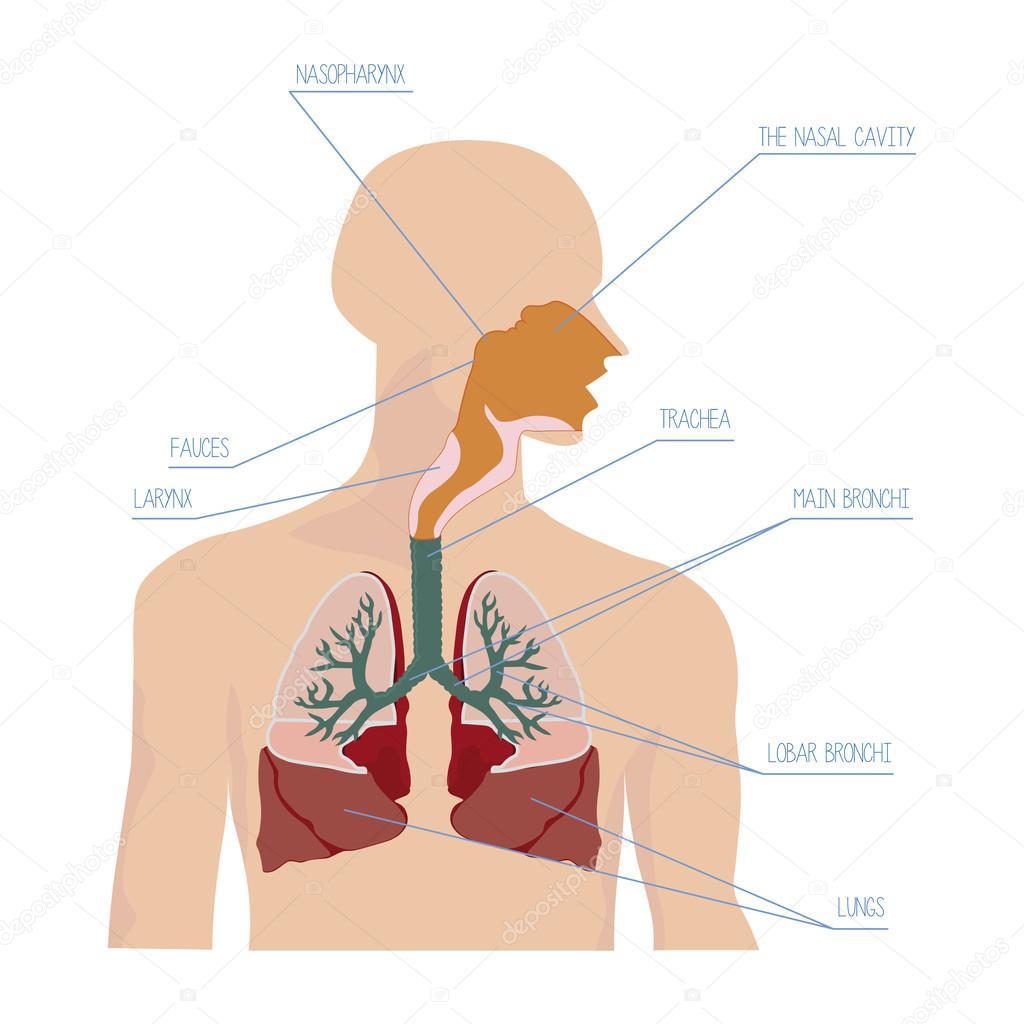 Menschlichen Atemwege in Vektor — Stockvektor © AlexeyBlogoodf #83622366