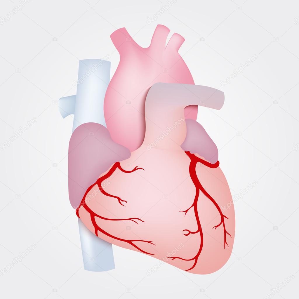 Anatomie der menschlichen Herzen isoliert auf weißem Hintergrund ...