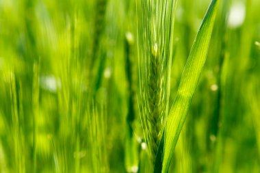 Ear of green barley