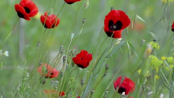 Květy červené máky kymácí ve větru na zeleném pozadí