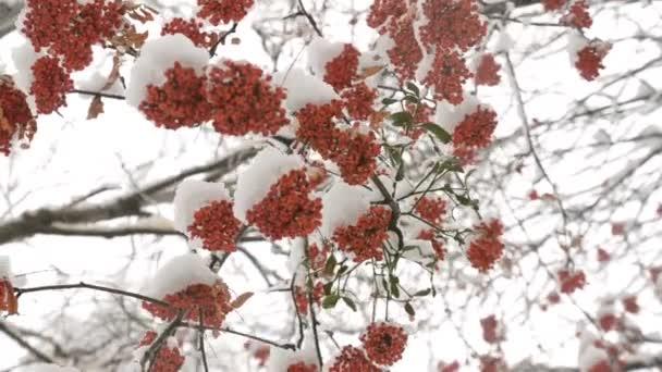 Rote Eberesche mit grünen Blättern unter dem Schnee