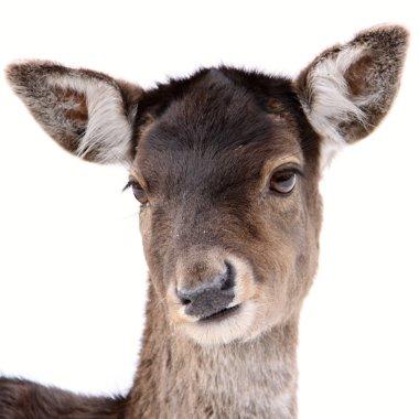 Young deer portrait