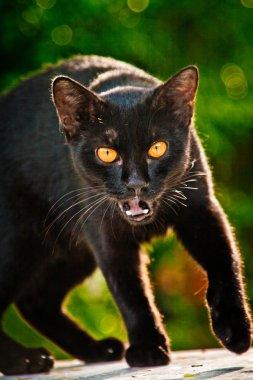 Aggressive black cat