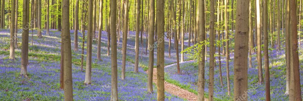 Фотообои Path through the blooming bluebell forest of Hallerbos in Belgiu