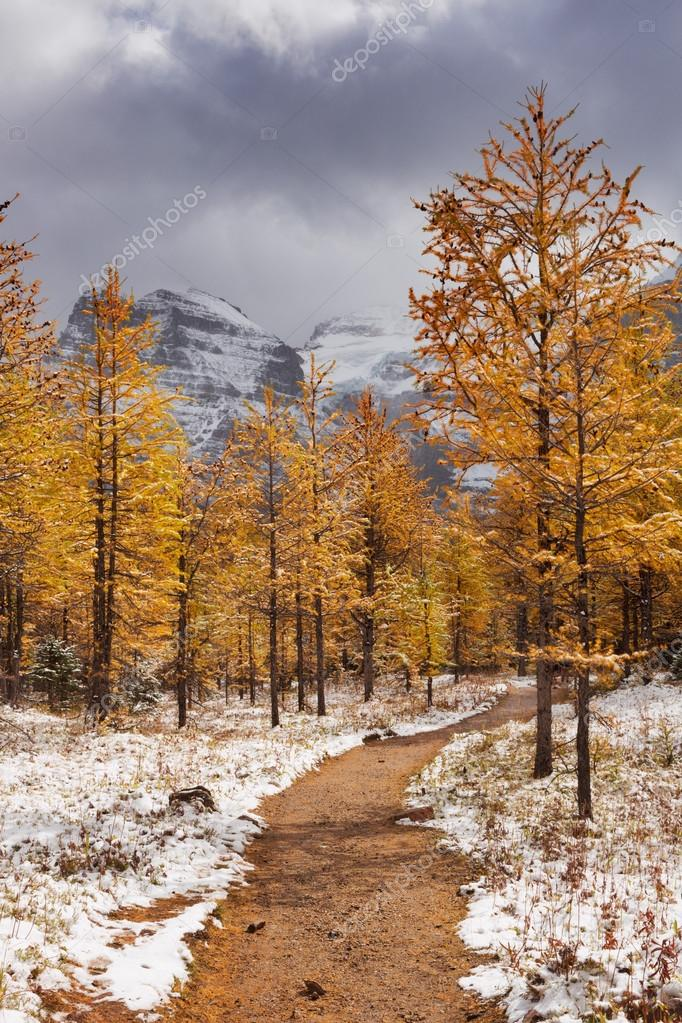 Larch trees in fall after first snow, Banff NP, Canada