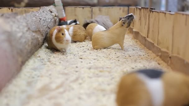 Guinea Pigs At The Zoo