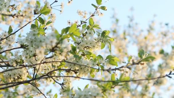 Branches Of Apple Trees In Sunlight